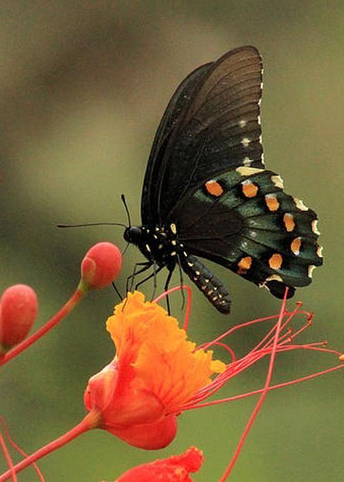 Battus Philenor Beautiful Butterflies Butterfly Cocoon Butterfly