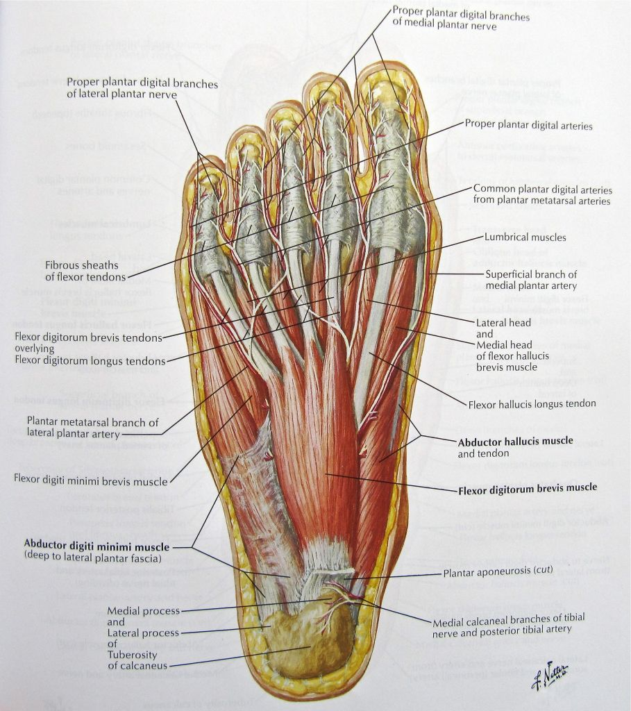 foot nerves anatomy pictures: diagram of nerves in foot, – human anatomy  diagram