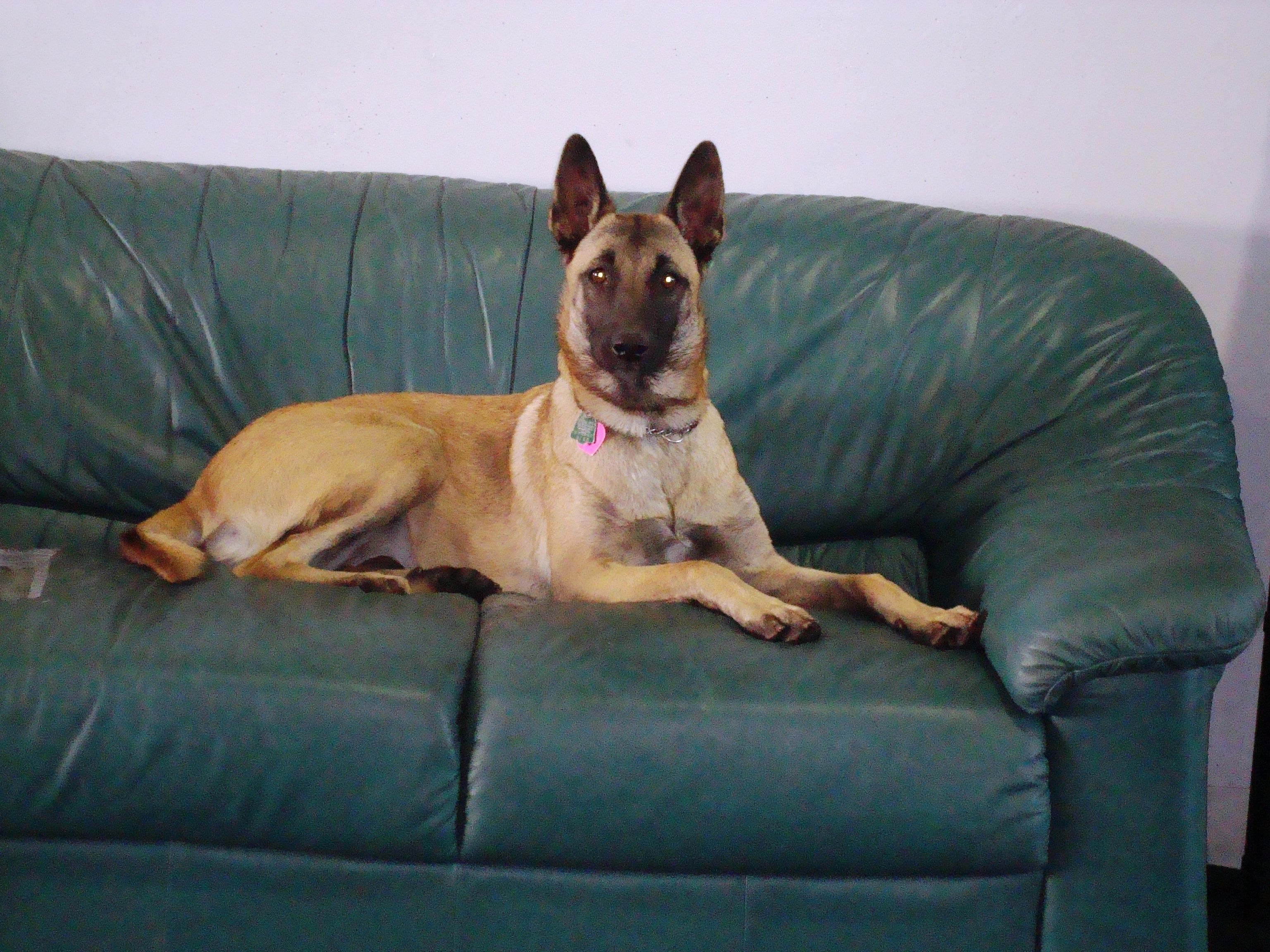 My Beautiful Lucy Belgium Malinois Too Small For K9 Officer