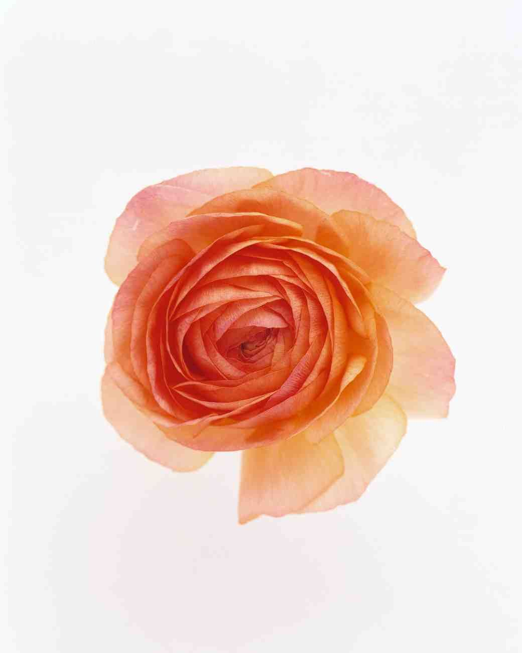 ranunculus meaning radiant with charms ideas pinterest