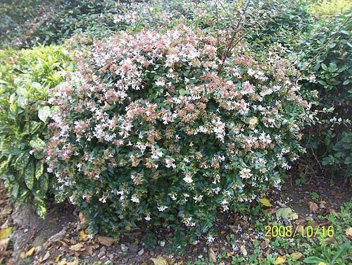 Abelia X Grandiflora The Hedge Outside Wtju Fragrant Blossoms