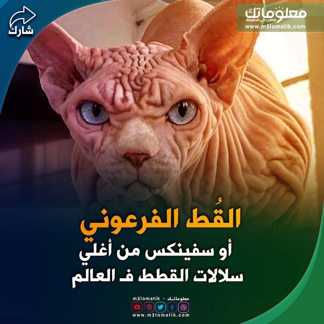 القط الفرعوني Grinch