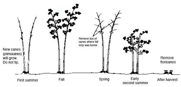 blackberry trellis diagram