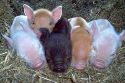 They're just a few hours old - Kune Kune pigs