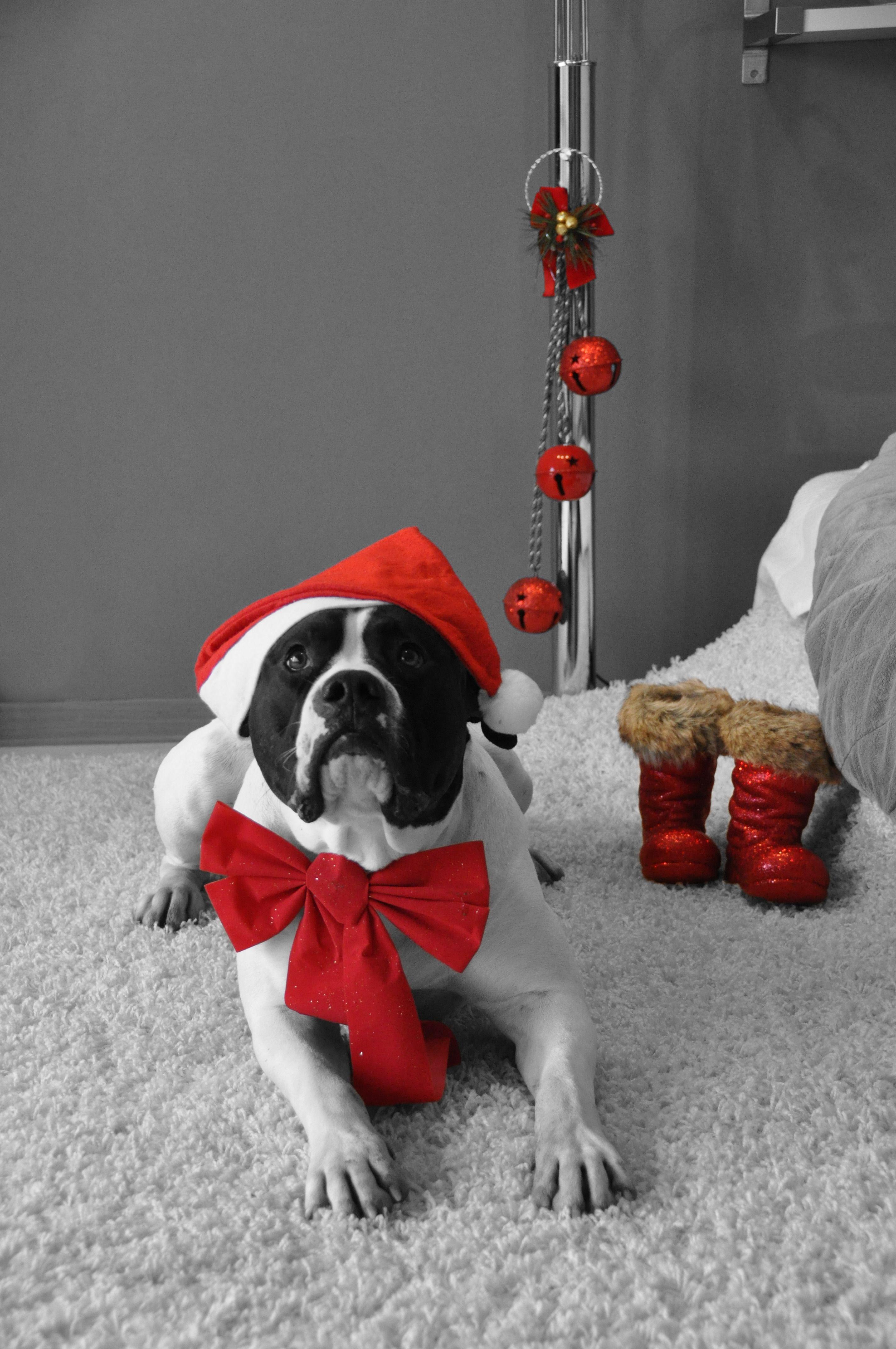Wir Lieben Weihnachten Mit Den Hudnen Dogsonchristmas Hundeweihnachten Hundefasching Hundeverkleidung Hundekostum Hund American Bulldog Hunde Weihnachten