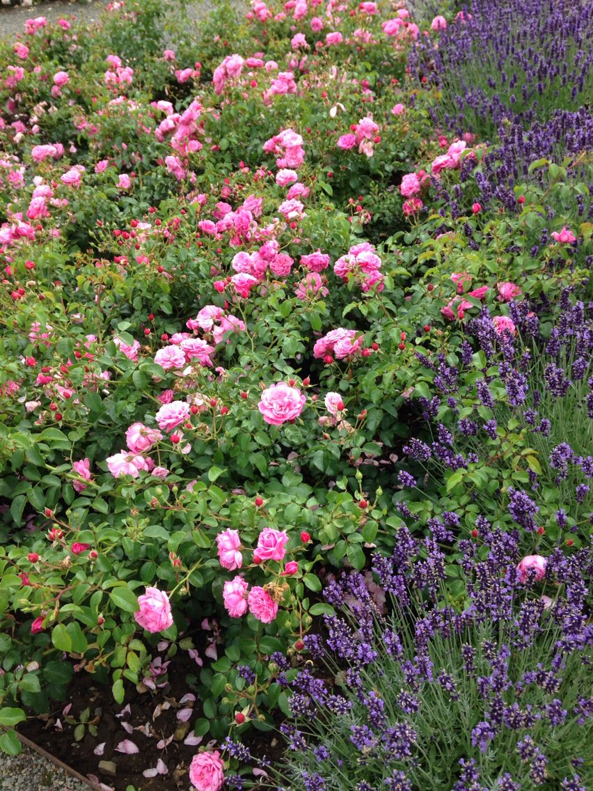 Rosen und Lavendel garten hecke