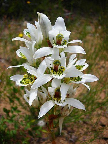 Chloraea longipetala - Flickr - Photo Sharing!