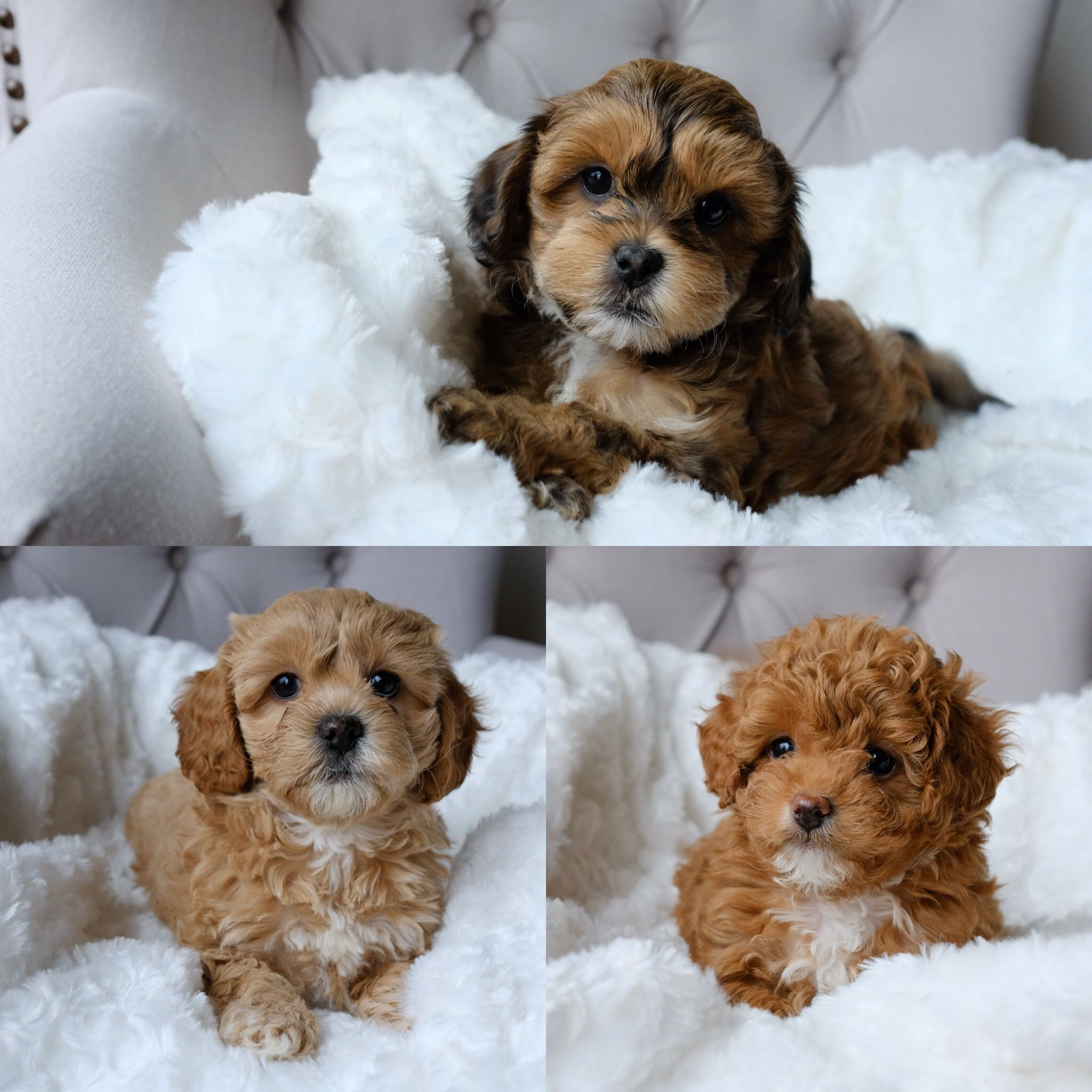 Rosie and Fergie's Cavapoochon litter born February 9