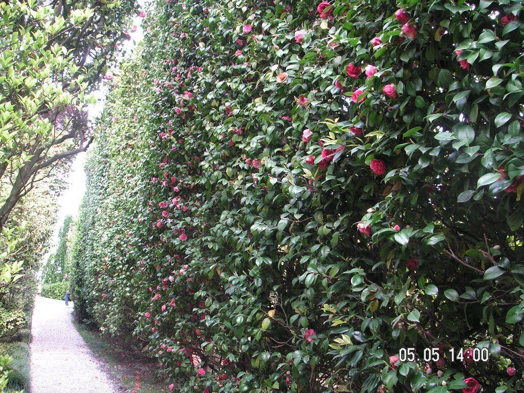 Camellia Hedge Shape Camellia Plant Hedges Plants