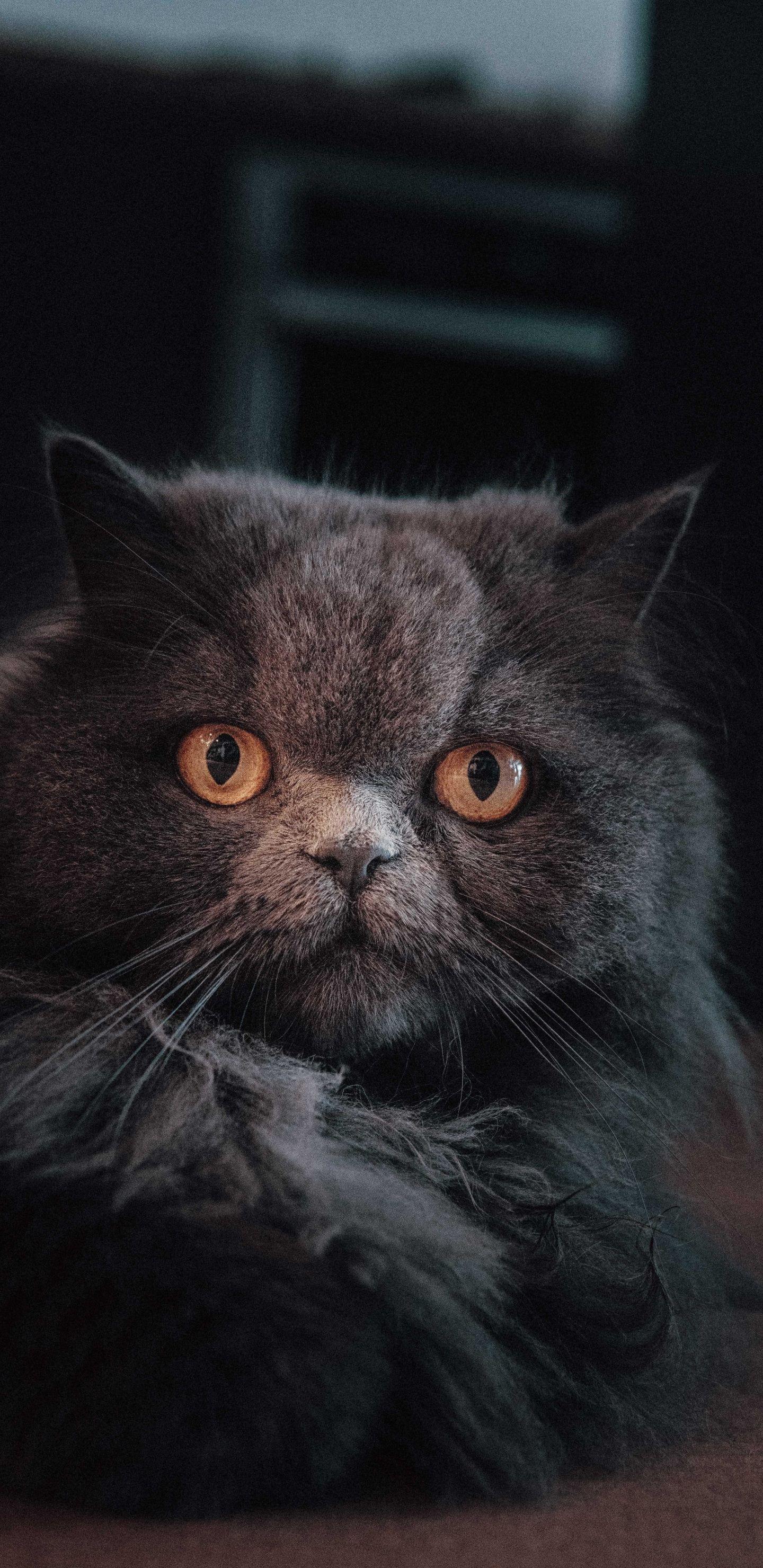 1440x2960 Curious cat, feline, yellow eyes, fluffy animal