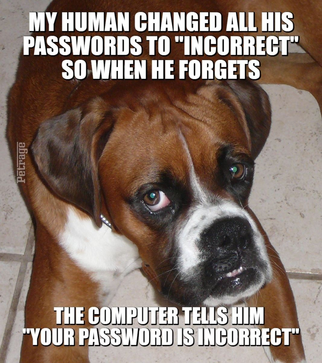 Sarcastic Boxer Dog Meme Passwords In 2020 Boxer Dog Quotes