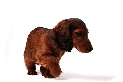 Remedy For A Dachshund S Dry Skin Ehow Dog Dry Skin Dachshund Training Dog Remedies