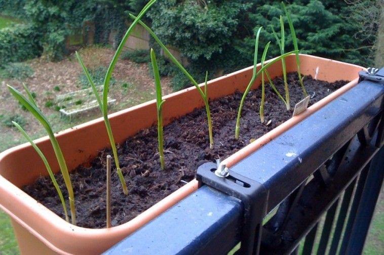 Aki szép fokhagymát szeretne termelni, az szeptember végén, október elején ültesse el a fokhagyma gerezdjeit. Kert híjján, urbánus kertészeknél szóba jöhet virágláda vagy -cserép is. Eláruljuk, hogyan!