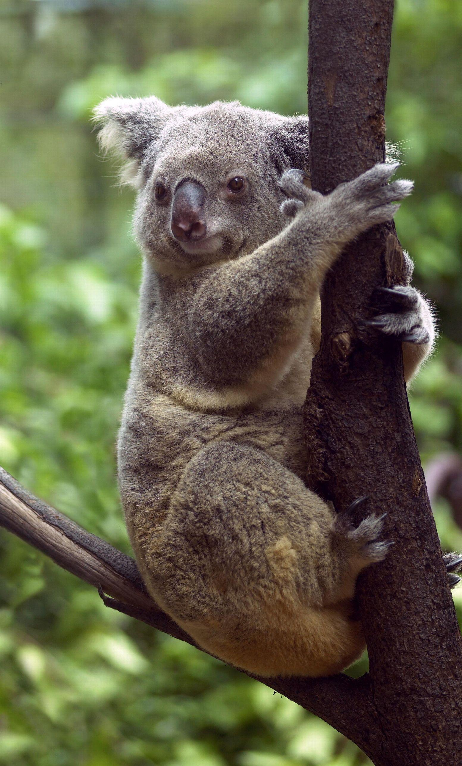 Koala in a gum tree Koala bear, Koala, Rainforest animals
