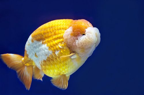 Ranchu Goldfish Aquarium Goldfish Fish Pet