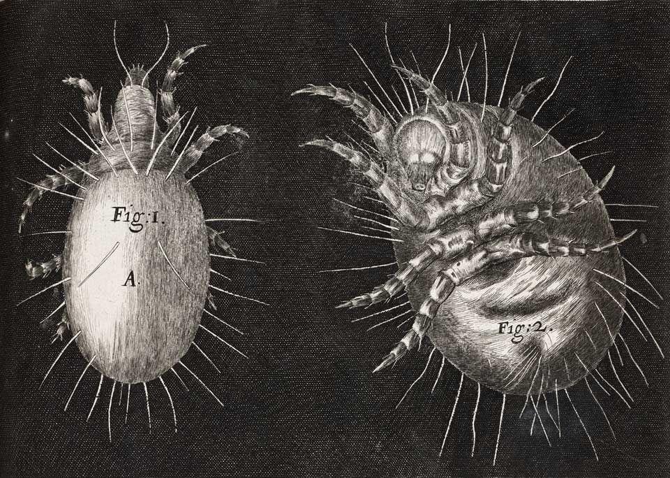 Mite, from Robert Hooke, Micrographia, 1665.