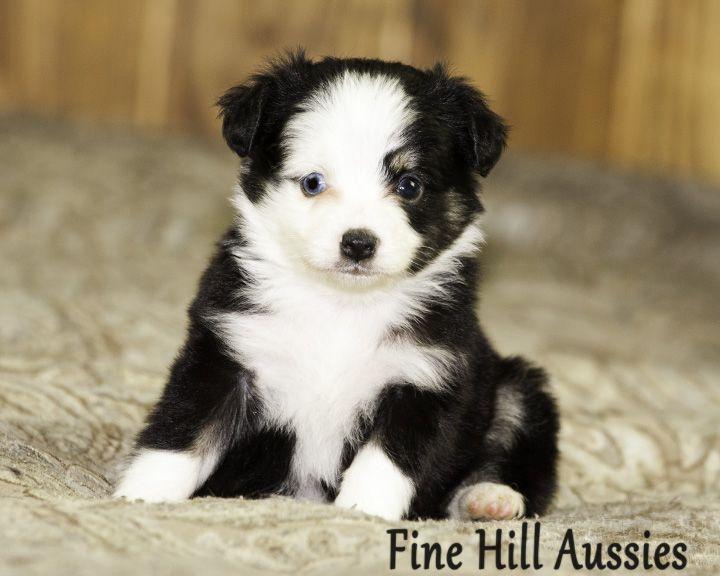 Toy Aussies Black Tri Female One Blue Eye Will Be 10 To 12 Inches Tall Www Finehillaussies Com Toy Australian Shepherd Australian Shepherd Puppies