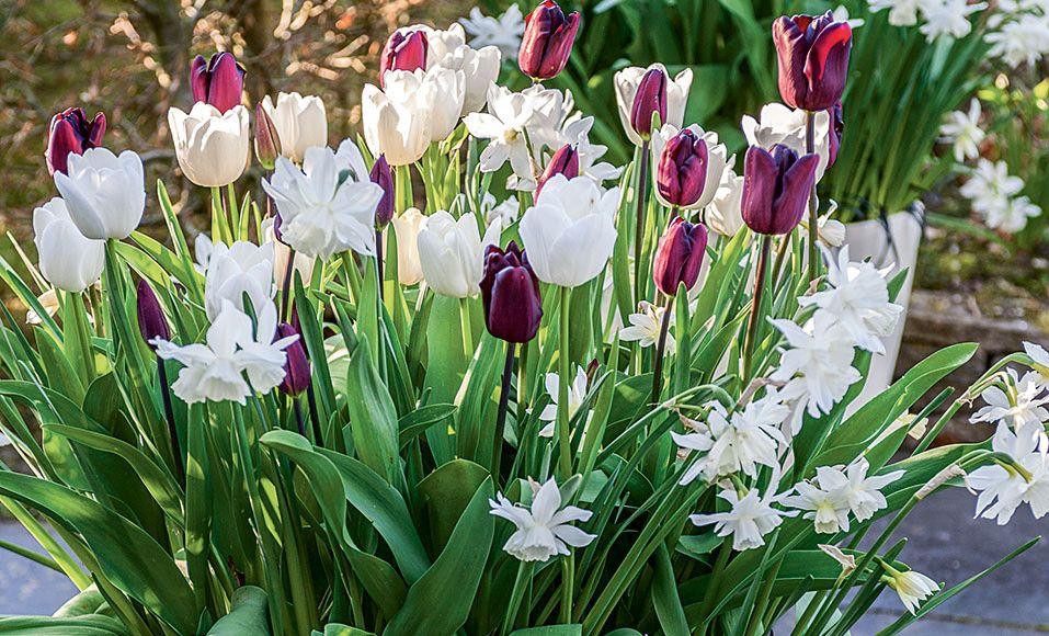 Comment réaliser une potée de tulipes et narcisses