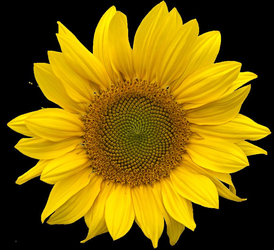 Sunflower Png Images Transparent Background: Pin Uživatele Bronislava Jarošová Na Nástěnce K
