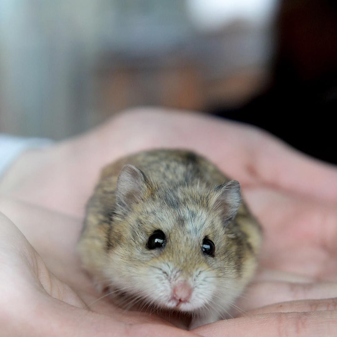 Pin by Piper D. on Dwarf hamsters Animal photoshoot