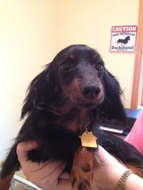 Pin By Furever Dachshund On Adoptable Dachshunds Long Haired