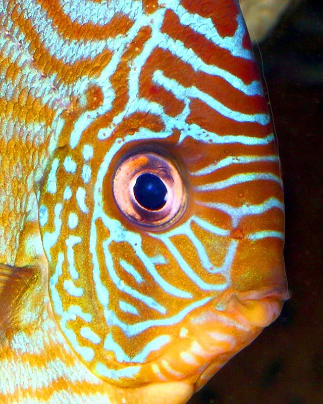 Found In The Amazon River Basin Discus Are Schooling Fish Animaloftheweek Discus Fish Discus Fish