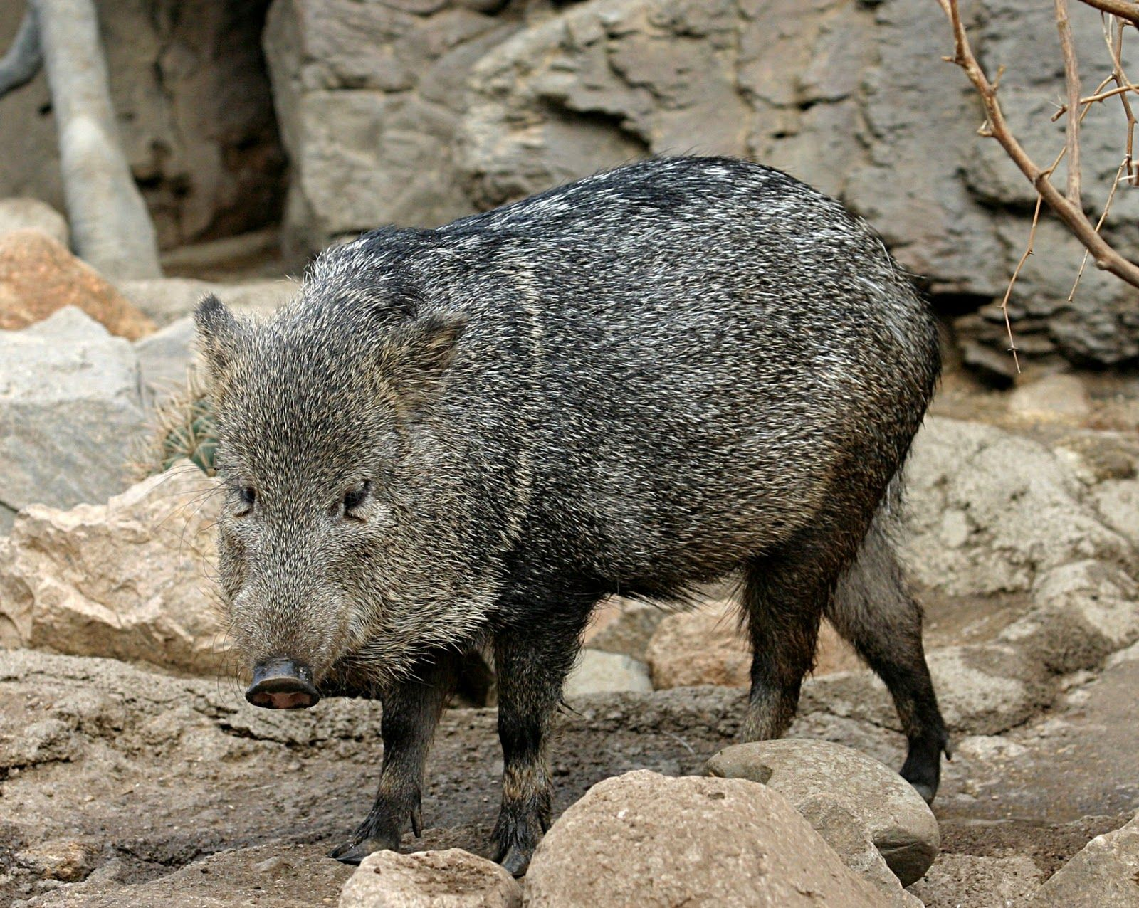 Collared Peccary Animals, Animal facts