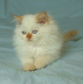 Himalayan Flame Point Kitten Maybe Someday Will Have Another One Himalayan Kitten Kittens Cutest Kitten Pictures