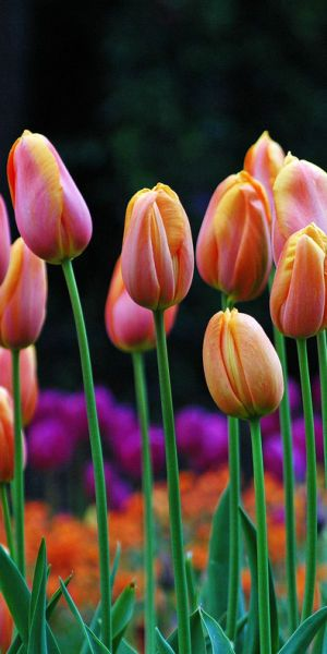 Colorful tulips--one of my fave flowers. Must get on the ball and plant some for Spring :-)