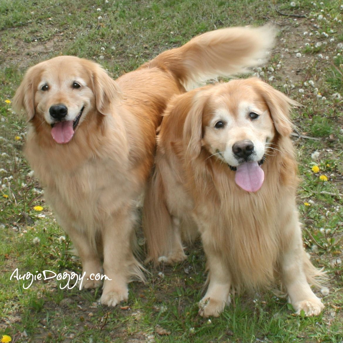 Want To Play With Us Www Augiedoggy Com Apps Blog Golden