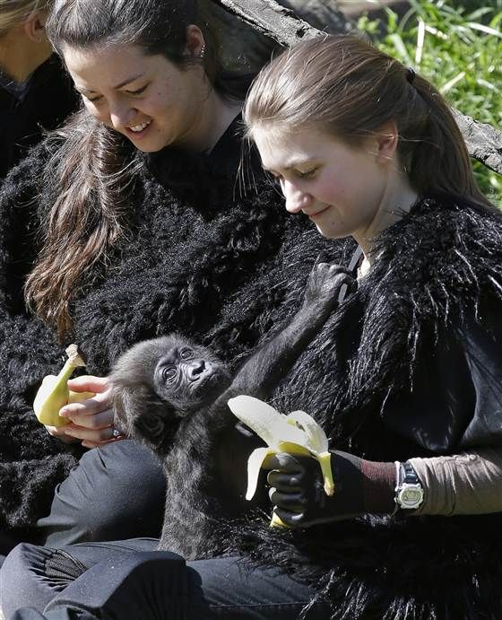 Zoo Workers Play Mom For Rejected Baby Gorilla