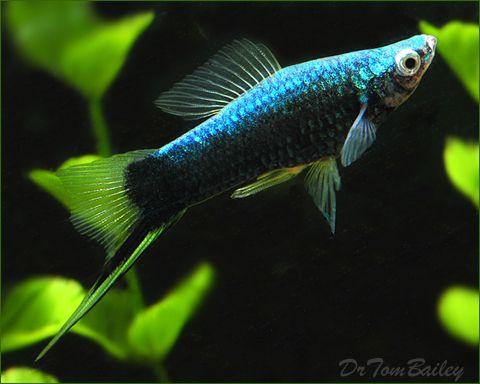 Swordtail Fish For Aquariums With Information And Pictures Aquarium Fish Swordtail Fish Tropical Fish Aquarium