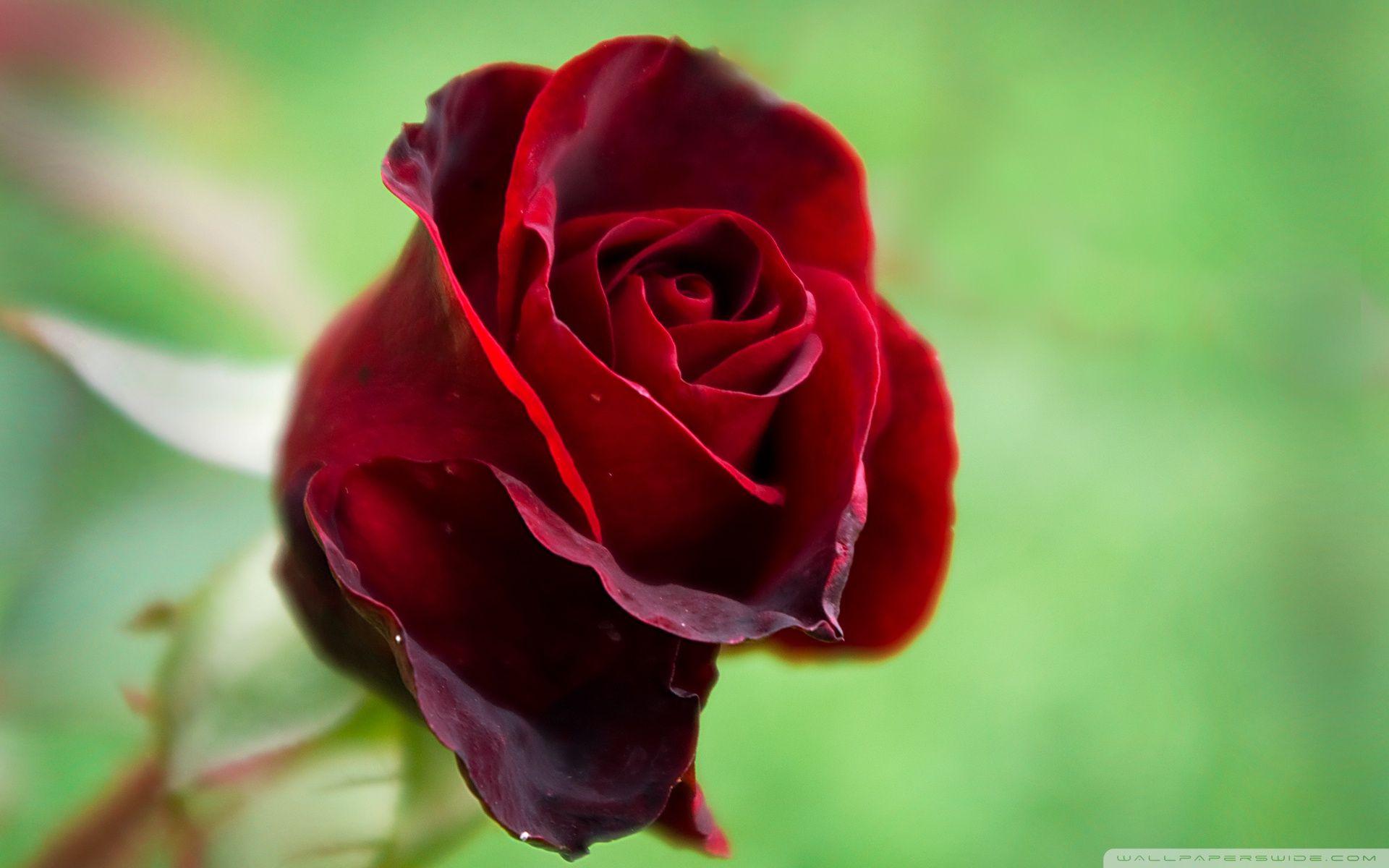 Beautiful Red Rose HD desktop wallpaper High Definition