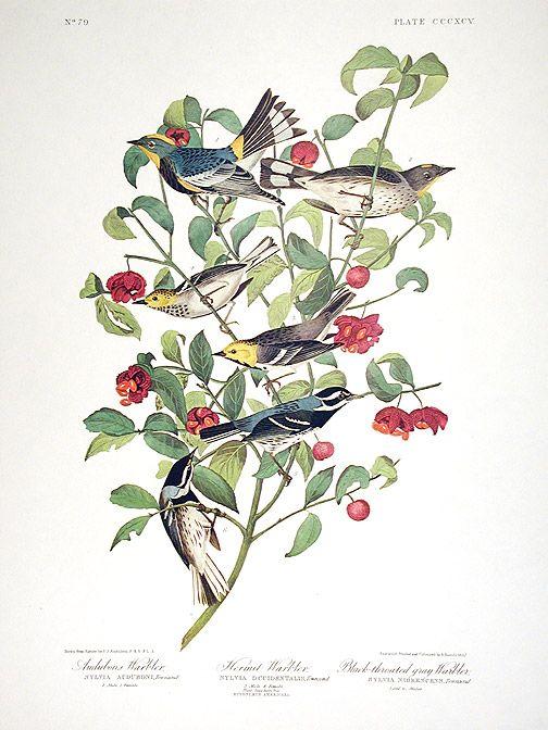 """Warblers"" John James Audubon"
