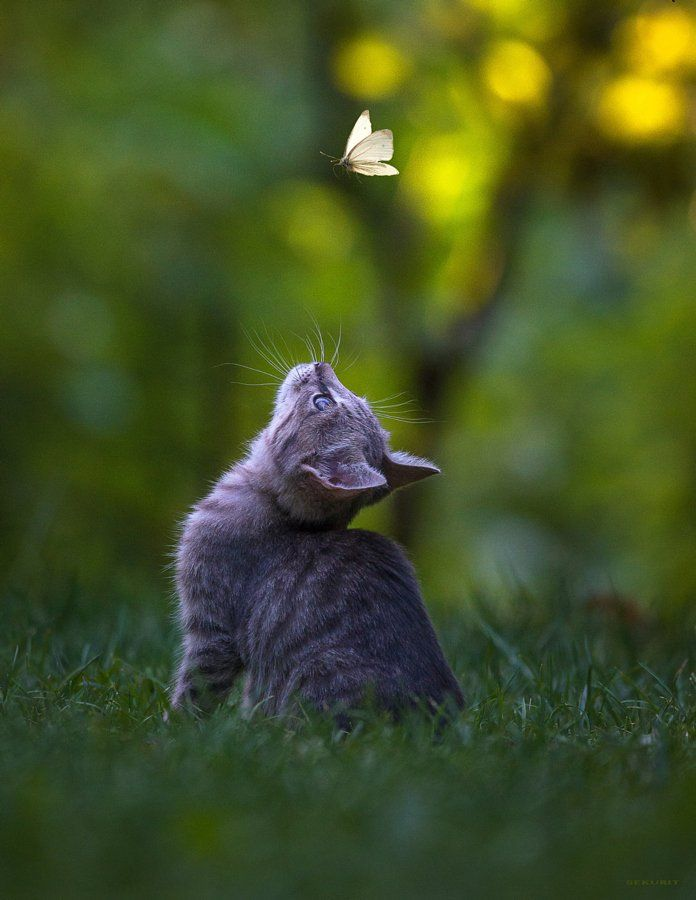 Wuz Diss Beautiful Little Grey Kitten Chasing Butterfly I Love It When My Cat Does This Except For When She Eats Them Cute Cats Cute Animals Pretty Cats