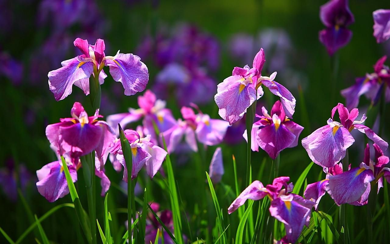 Irish Flowers and Their Meanings   Iris Flower Wallpaper   Flower     Irish Flowers and Their Meanings   Iris Flower Wallpaper   Flower Meanings   Pictures and Photos