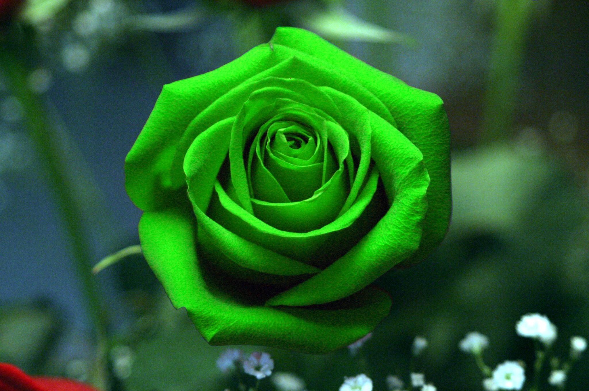 beautiful green things | Download Green Rose Wallpaper HD | Green ...