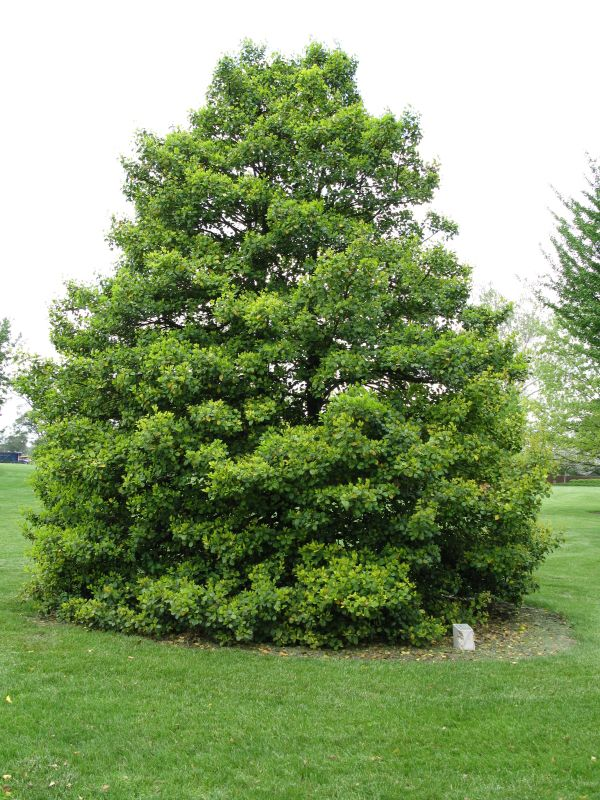 Christmas Holly Tree Part - 38: Beautiful American Holly Trees For Garden Plants And Christmas .