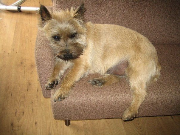Cairn Terrier My Magnus On His Special Doggy Couch Cairn