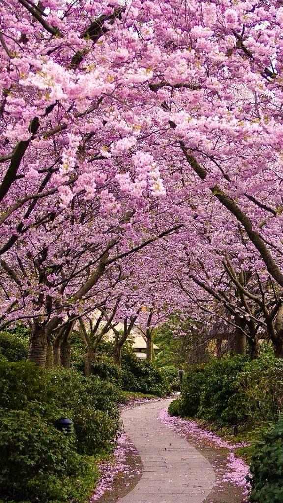 Honey On Twitter Beautiful Landscapes Cherry Blossom Wallpaper Beautiful Nature