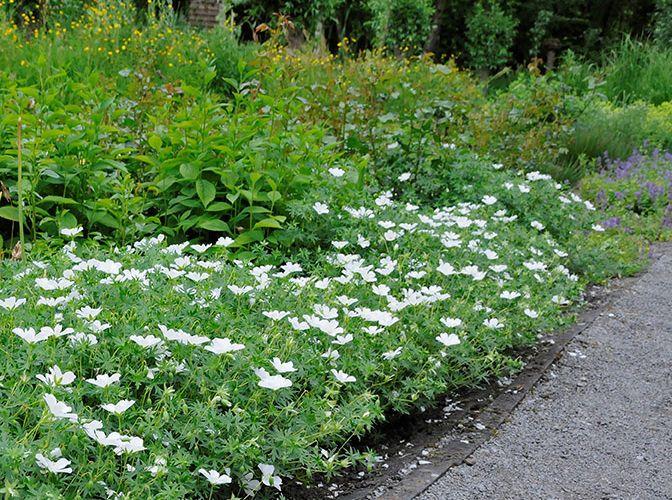 geranium sanguineum album roy diblik know maintenance perennial garden pinterest. Black Bedroom Furniture Sets. Home Design Ideas