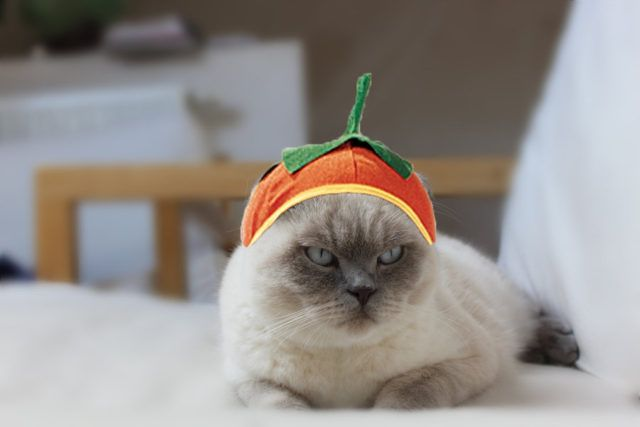 40 Adorable DIY Pet Costume Ideas for Halloween Pet costumes - cute cat halloween costume ideas
