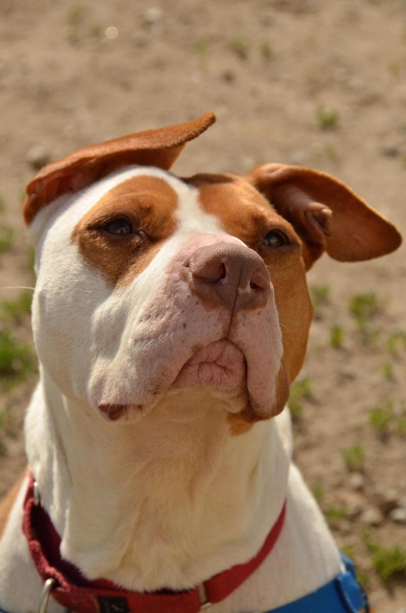 Maya Adoptable Dog Methuen Ma Mspca At Nevins Farm Dogs Dog Adoption Animals