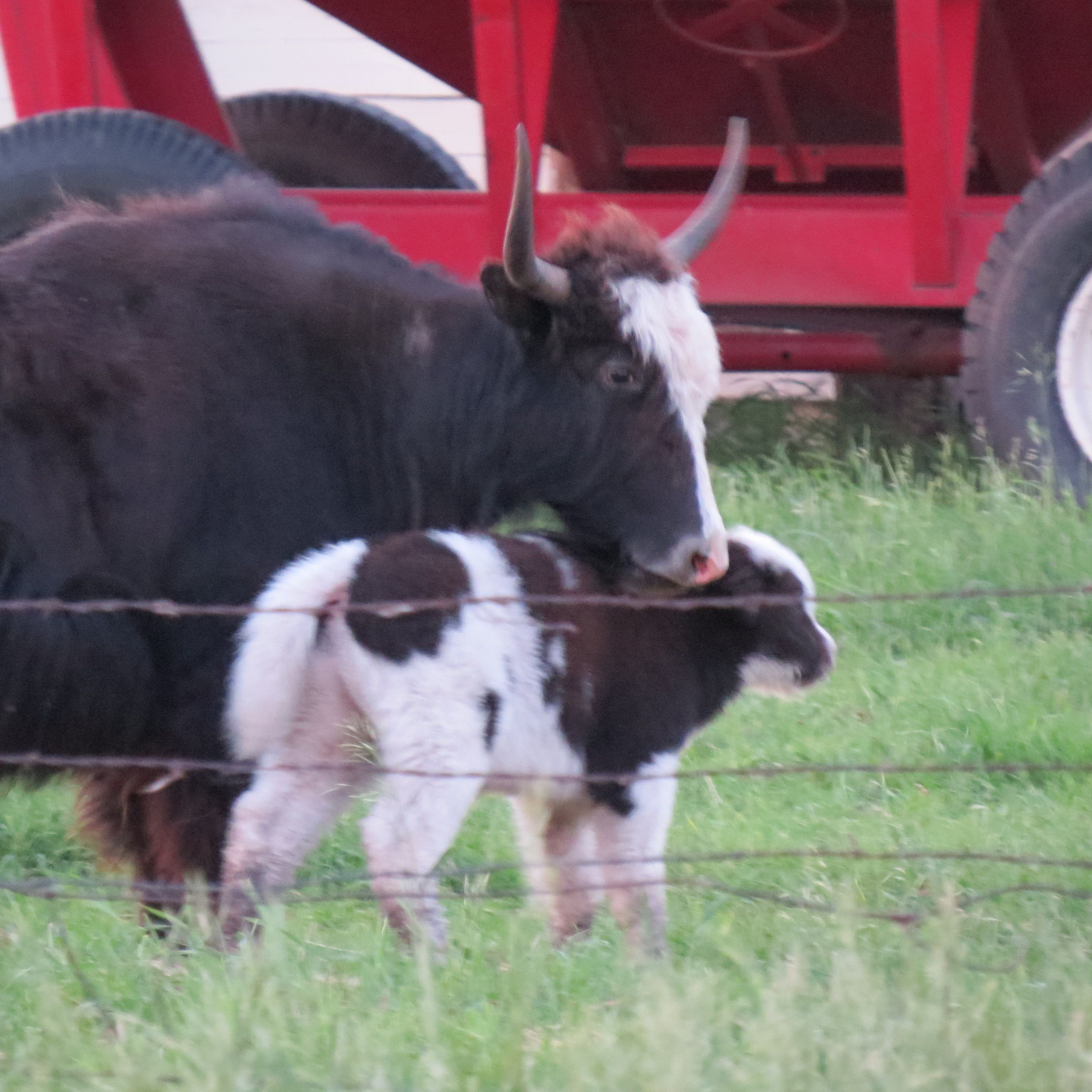 Mommy And Baby Yak