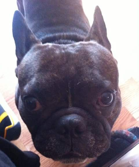 Lost Dog French Bulldog In Springfield Ma Share Facebook