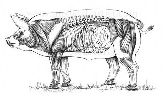 Anatomy of the male pig | Animal | Pinterest | Animal anatomy ...