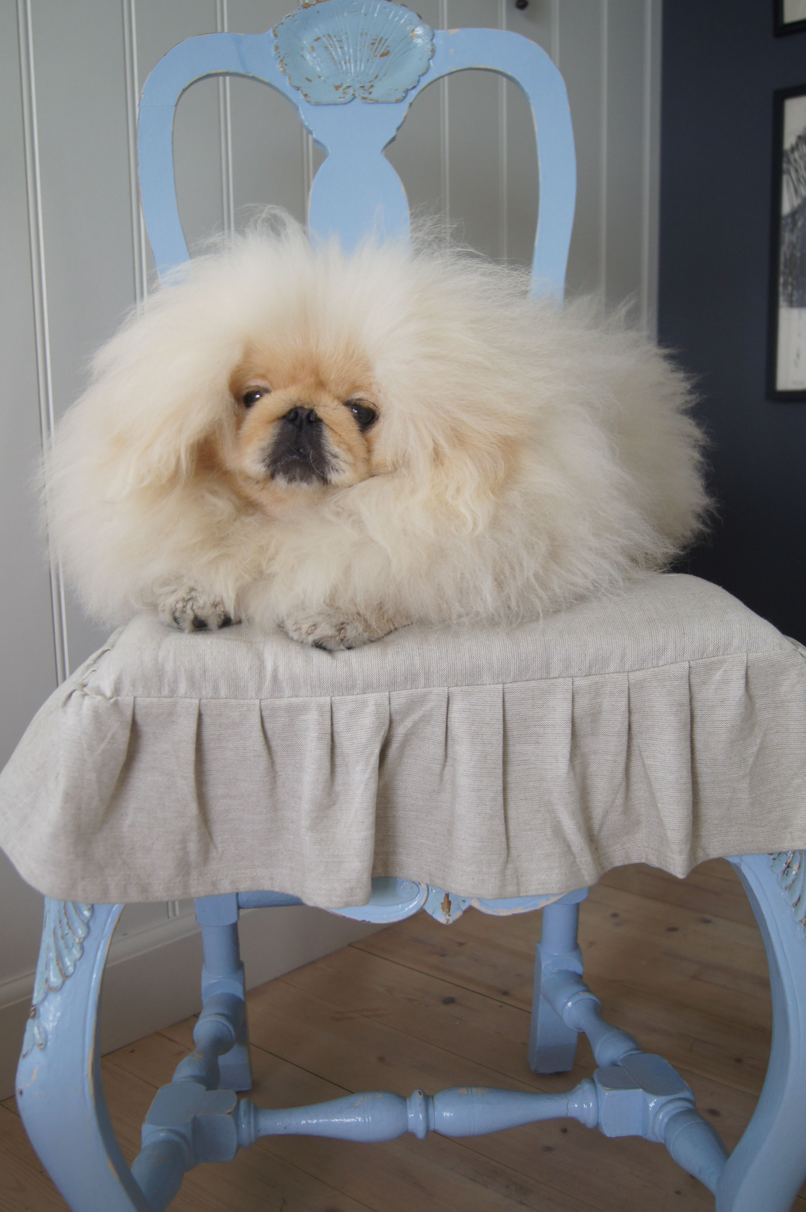 Hello, please tell me how Pekingese dogs are small children. Is there a danger 95