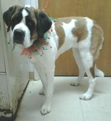 Smooth Coat Is An Adoptable Saint Bernard St Bernard Dog In