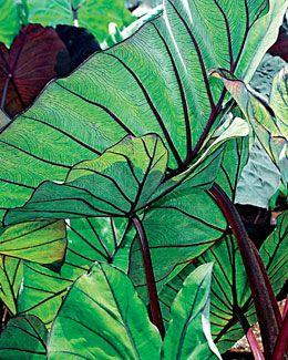 Blue Hawaii Colocasia Gardening Plants Shade Plants Garden