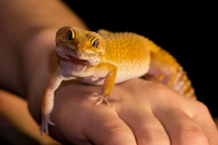 How To Take Care Of A Leopard Gecko Pet Life Today Leopard Gecko Pet Lizards Pet Life